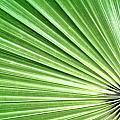 Palm Leaf by Rudy Umans
