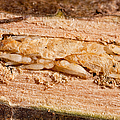 Parasitized Ash Borer Larva by Science Source