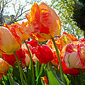 Parrot Tulips In Philadelphia by Mother Nature