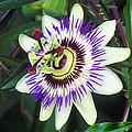 Passion Flower (passiflora Sp.) by Kaj R. Svensson