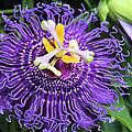 Passionflower Purple by Rosalie Scanlon