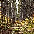 Path Into The Forest In Autumn Sault by Susan Dykstra