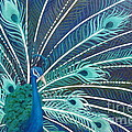 Peacock by Estephy Sabin Figueroa