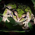 Peek a Boo Pacific Tree Frog Print by Nick Gustafson