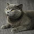 Pet Portrait Of British Shorthair Cat by Nancy Branston