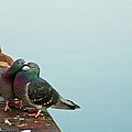 Pigeons In Love by Image by J. Parsons