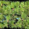Pine Cones And Needles by Will Borden