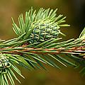 Pine tree cones