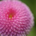 Pink Daisy Flower by Myu-myu