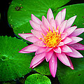 Pink Nymphaea Print by Lisa  Spencer