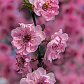 Pink On Pink by Robert Bales