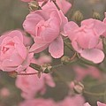 Pink Roses by Paula Sharlea