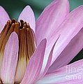 Pink Water Lily Macro by Sabrina L Ryan