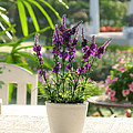 Plastic Lavender Flowers  by Nawarat Namphon