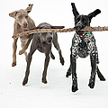 Pointers Rule, Weimaraners Drool by Michael Fiddleman, fiddography.com
