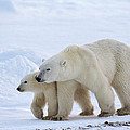 Polar Bear Ursus Maritimus And Cub by Suzi Eszterhas