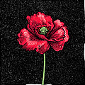 Poppy Flower, Woodcut by Gary Hincks