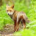 Portrait Of Fox by Gary Chalker
