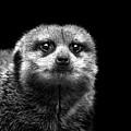 Portrait Of Meerkat by Malcolm MacGregor