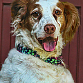 Portrait Of Springer Spaniel Dog by Melinda Moore