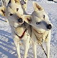 Portrait Of Two Husky Sled Dogs by Paul Nicklen