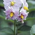 Potato (solanum Tuberosum 'charlotte') by Maxine Adcock