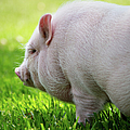 Potbelly Pig by Christopher Jenkins  c/o www.luckyshotphotos.com