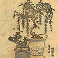 Potted Wisteria