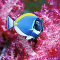 Powder Blue Surgeonfish by Georgette Douwma