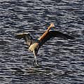 Prancing Heron by David Lee Thompson