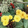 Primroses by Archie Young