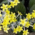 Primula Verticillata Flowers by Bob Gibbons