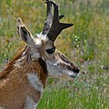 Pronghorn Buck profile Print by Karon Melillo DeVega