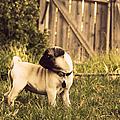 Pug Pose by Taryn