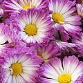Purple Autumn Mums