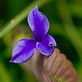 Purple Bromeliad Flower by Douglas Barnard