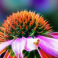 Purple Coneflower Delight by Bill Tiepelman