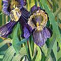Purple Irises Print by Mindy Newman