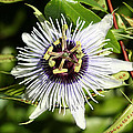 Purple Passionflower by April Wietrecki Green