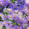 Purple Reigns by Joan Carroll