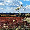 Queen Annes Lace And Hay Bales by Julie Dant