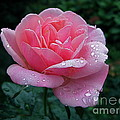Rain Sprinkled Rose