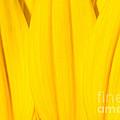 Rays Of Sunflower by Luke Moore