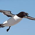Razorbill In Flight by Bruce J Robinson