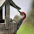 Red Bellied Woodpecker by L Granville Laird