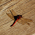 Red Dragon Fly by LeeAnn McLaneGoetz McLaneGoetzStudioLLCcom
