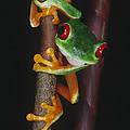 Red-eyed Tree Frog Agalychnis Callidryas by Gregory G. Dimijian, M.D.