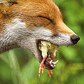 Red Fox Eating A Chick by Duncan Shaw
