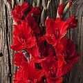 Red Gladiolus by Garry Gay