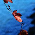 Red Maple Leaves by Paul Ge